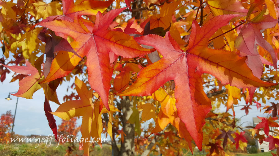 New England fall foliage of a American sweetgum