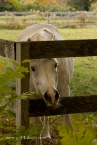 grey horse looking through the fence for an apple or treat