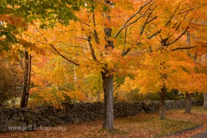 New England rock wall with large orange and yellow maple
