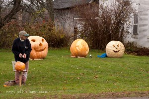 Pumpkins lined up across the landscape for the Cilley Hill pumpkin festival