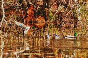 Male mallards defending territory and mates with autumn's fall colors in background