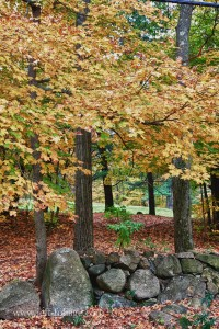 Old stone wall along scenic byway in Massachusetts with yellow maple tree above it