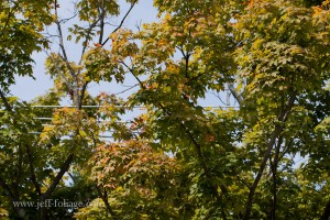 Fall foliage color in Marblehead MA  shows in August