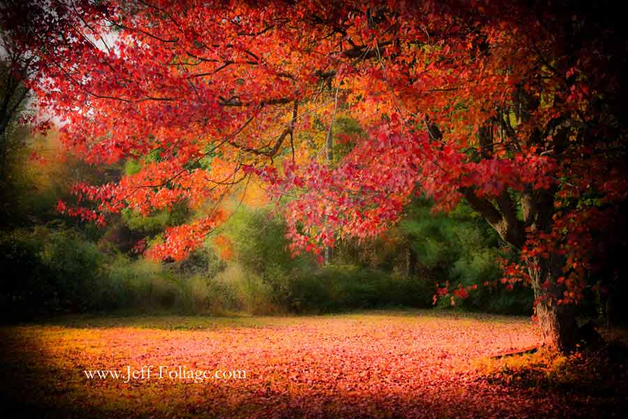 Orange and red maple leaves fill the view as your eye travels up the trunk of the tree to the overhead branches
