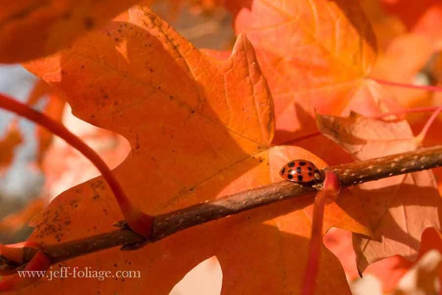 Ladybug On Orange Maple Leaf