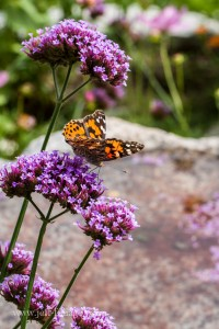 painted Lady butterfly in conservation garden
