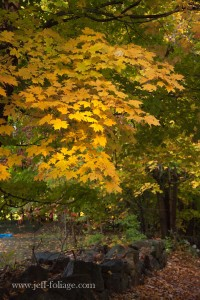 afternoon sun lights up yellow and orange leaves only Maple tree above a old stone wall