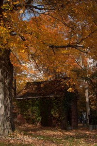 yellow fall foliage over a tool shed in Ipswich Massachusetts