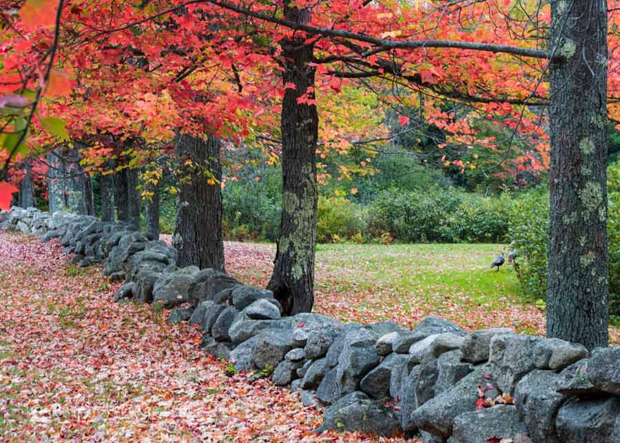 A stone wall in Maine stands the test of time with a row of red and orange maples standing in a row