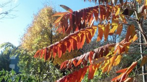 red and orange sumac set against a maple standing in the background