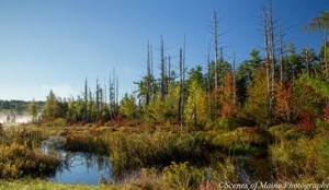 swampy fall colors by Steve Beckwith http://www.scenesofmaine.com/