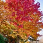 bright red leaves blending to orange and gold in one tree.