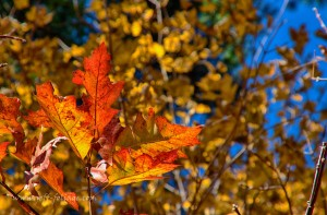 Fall colors on 3 November with a red and yellow oak leaf against the golden sugar maple leaves.