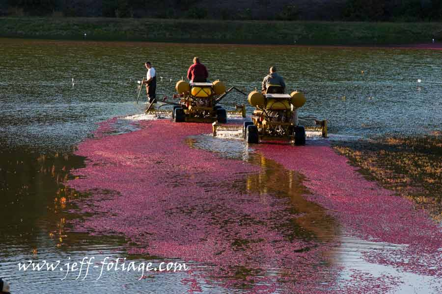 Cranberries in Carver Massachusetts. New England fall foliage