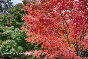 Along Route 2A in Bedford Mass on 29 Sept 2012. One tree is bright red and the ones next to it are bright green...