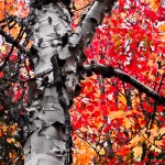 #Vistaphotography #JeffFolger, #JeffFoliage, in the conservation land south of Rangeley Lake Maine on to October I found this paper Birch backdropped against incredible Reds and yellows, of a Maple tree