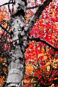 dealing with fall foliage vacation planning in the conservation land south of Rangeley Lake Maine on to October I found this paper Birch backdropped against incredible Reds and yellows, of a Maple tree