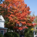 #Vistaphotography #JeffFolger, #JeffFoliage, Marblehead on 27 Sept 2012 but this tree was by itself in turning but it was also a very dry year and early