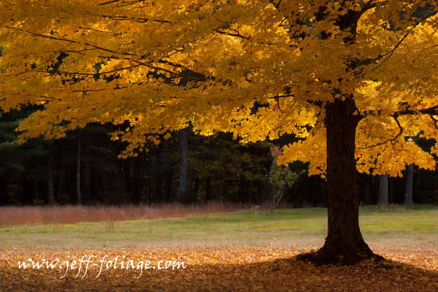 Tips to improve your fall foliage - A beautiful golden maple before I did any work on it