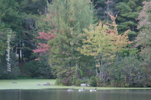 Geese swimming under the early fall colors