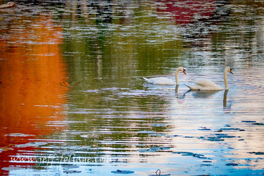 a couple of geese swimming through the Reflections of fall colors.