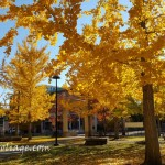 Ginkgos at the Visitor center