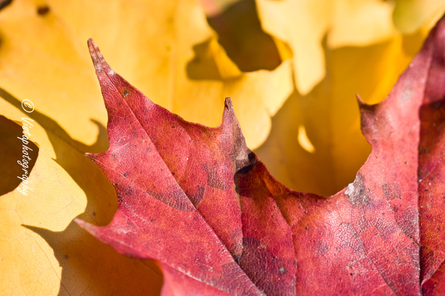 Fall colors of maples leaves captured by New England Photography